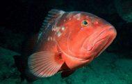 El mero rojo, en riesgo de extinción en Yucatán