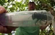 Científicos encuentran la abeja más grande del mundo, en Indonesia